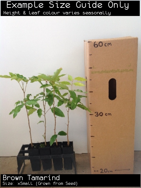 Brown Tamarind For Sale (Size: xSmall)  (Grown from Seed)