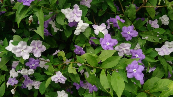 Yesterday-Today-Tomorrow (Brunfelsia calycina) in flower