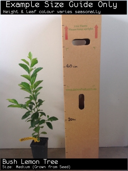 Bush Lemon Tree For Sale (Size: Medium)  (Grown from Seed)
