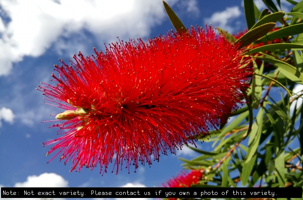 Callistemon general picture