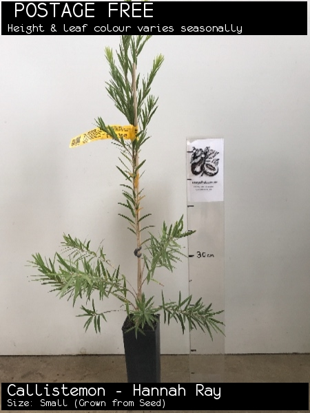 Callistemon - Hannah Ray For Sale (Size: Small)  (Grown from Seed)