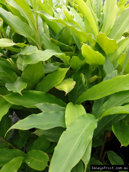 Cardamon Ginger plants