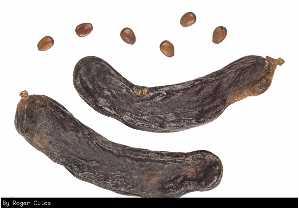 The Pods seeds and fruit of the carob fruit tree