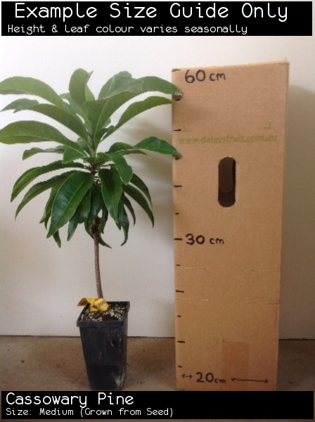 Cassowary Pine For Sale (Size: Medium)  (Grown from Seed)
