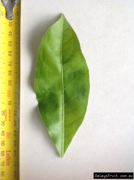 Leaf of the Cassowary Pine Barringtonia calyptrata