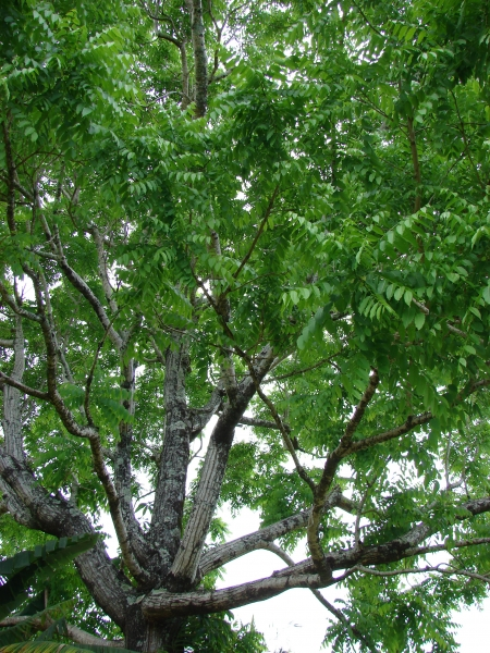 West Indian cedar tree - Cedrela odorata