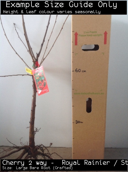 Cherry 2 way -  Royal Rainier / Stella For Sale (Size: Large Bare Root)  (Grafted)