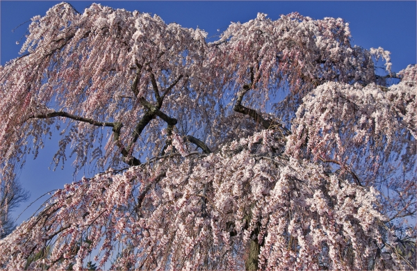 Flowering Pink Weeping Cherry