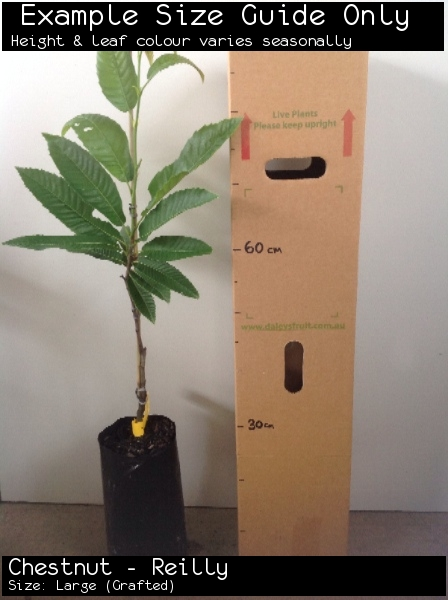 Chestnut - Reilly For Sale (Size: Large)  (Grafted)