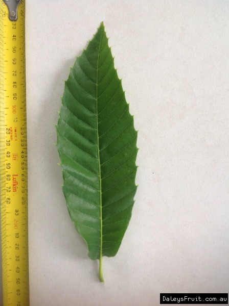 Leaf of the Chestnut Reilly