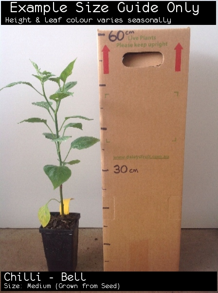 Chilli - Bell  For Sale (Size: Medium)  (Grown from Seed)