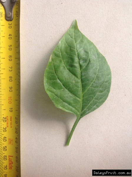 Leaf of the Chilli Bell