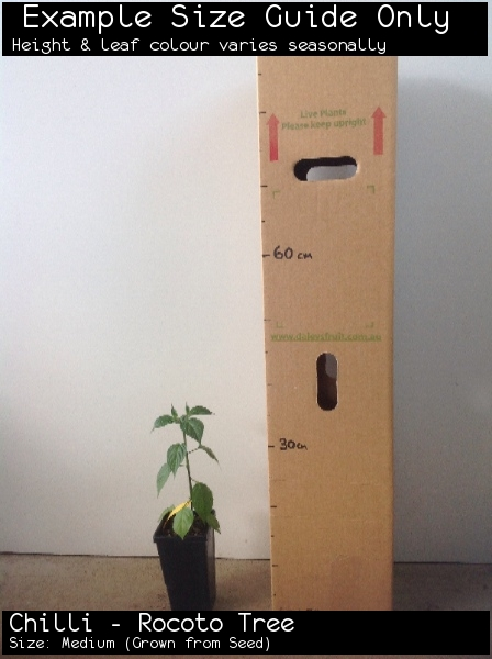 Chilli - Rocoto Tree For Sale (Size: Medium)  (Grown from Seed)