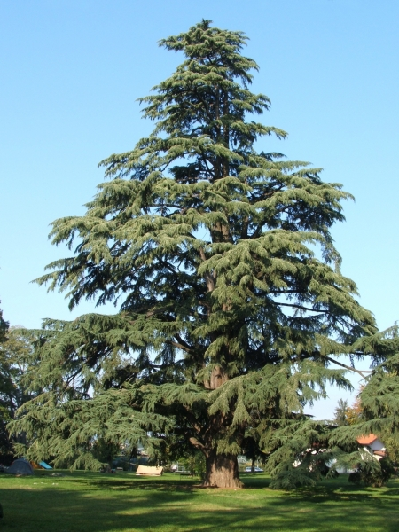 Conifer Cedrus deodara Cedrus deodara. Photo taken in Pedrengo Bergamo Italy. The tree is 35 meters high.