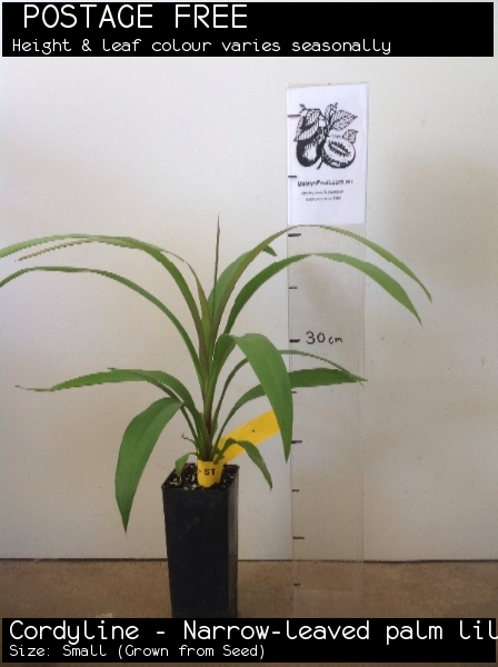 Cordyline - Narrow-leaved palm lily For Sale (Size: Small)  (Grown from Seed)