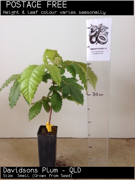 Davidsons Plum - QLD For Sale (Size: Small)  (Grown from Seed)