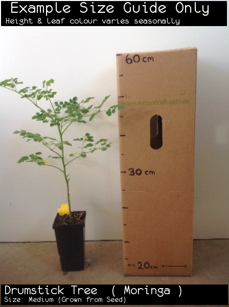 Drumstick Tree  ( Moringa ) For Sale (Size: Medium)  (Grown from Seed)