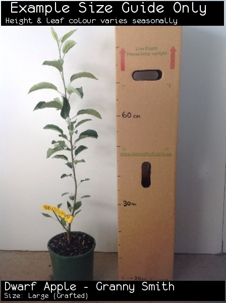 Dwarf Apple - Granny Smith For Sale (Size: Large)  (Grafted)