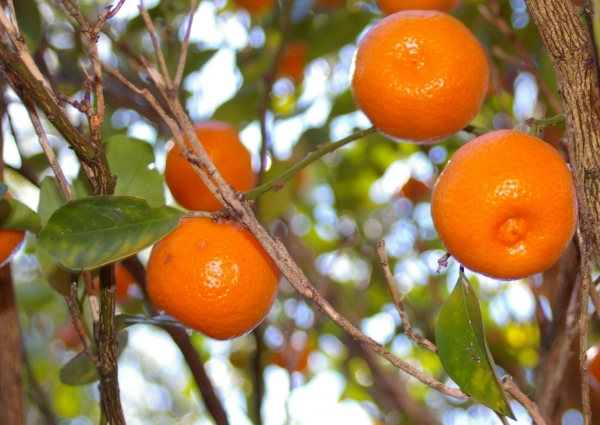 Calamondin growing on the tree