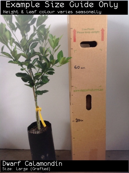 Dwarf Calamondin For Sale (Size: Large)  (Grafted)