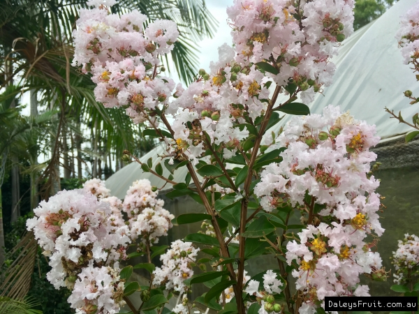 Dwarf Crepe Myrtle Light Pink
