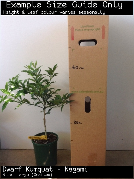 Dwarf Kumquat - Nagami For Sale (Size: Large)  (Grafted)