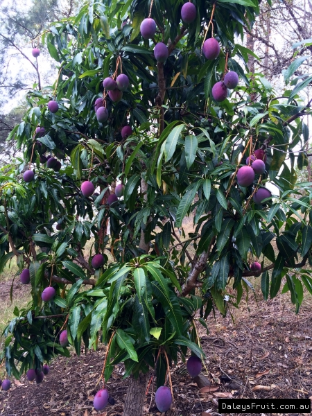 Dwarf Mango Trees Irwin Sale Perth