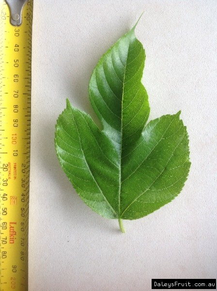Leaf of the Dwarf Mulberry Red Shahtoot