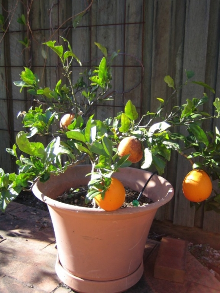 Dwarf Washington Navel Fruit Tree Growing in a pot