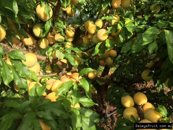 Gulf Gold Plum with heavy crop