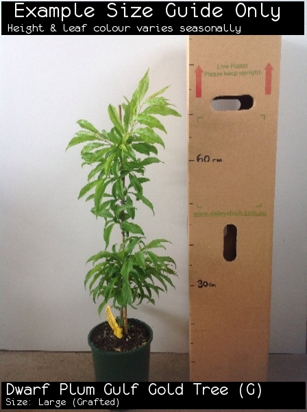 Dwarf Plum Gulf Gold Tree (G) For Sale (Size: Large)  (Grafted)