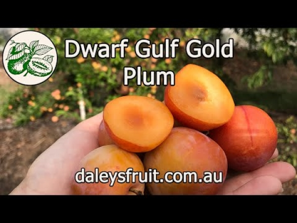 Dwarf Gulf Gold Plum YouTube Video giving all the information about how to grow the taste and close up photos of this fruit when they are ready to harvest