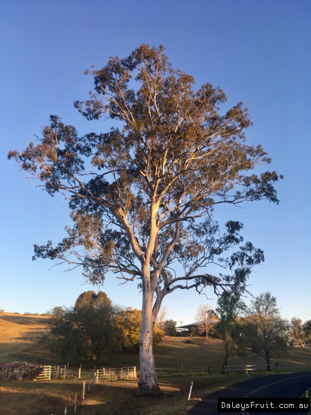 Eucalyptus - Forest Red Gum location at Fawcett Plains Kyogle