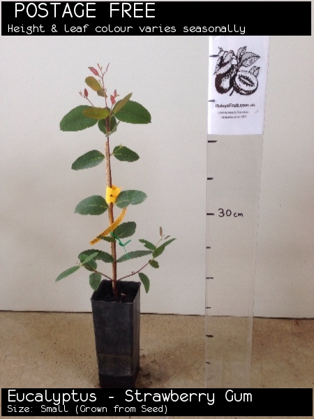 Eucalyptus - Strawberry Gum For Sale (Size: Small)  (Grown from Seed)