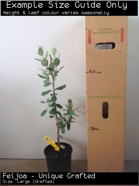 Feijoa - Unique Grafted For Sale (Size: Large)  (Grafted)
