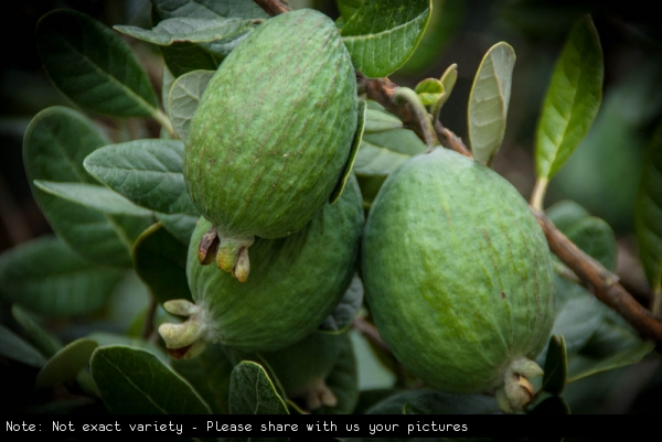 Feijoa on Fruit Tree