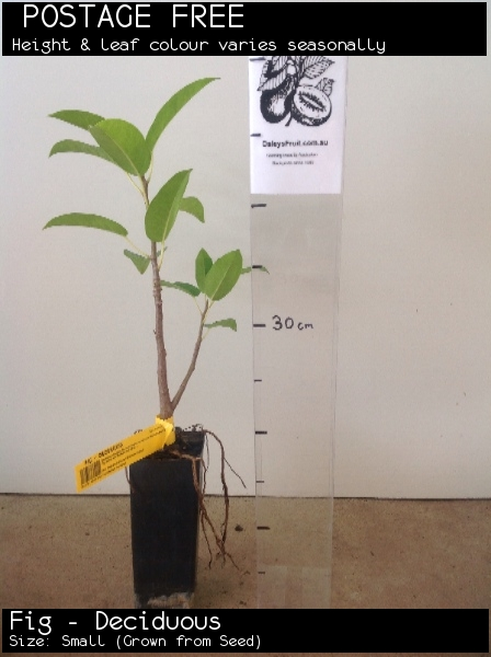 Fig - Deciduous For Sale (Size: Small)  (Grown from Seed)
