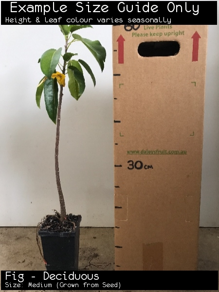 Fig - Deciduous For Sale (Size: Medium)  (Grown from Seed)