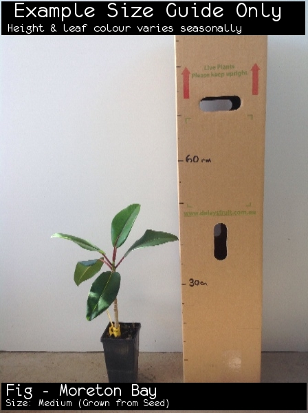 Fig - Moreton Bay For Sale (Size: Medium)  (Grown from Seed)