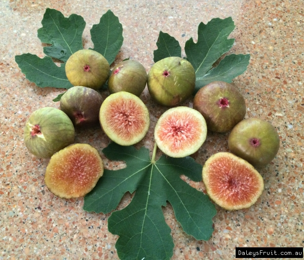 Fig - Prestons prolific