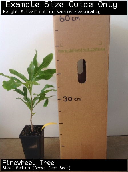 Firewheel Tree For Sale (Size: Medium)  (Grown from Seed)