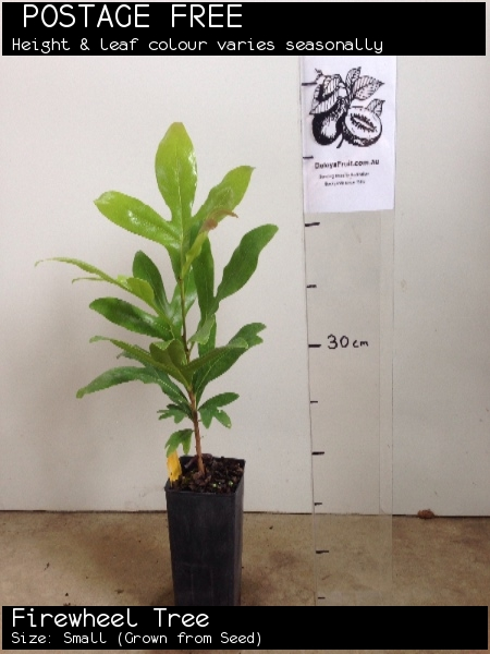 Firewheel Tree For Sale (Size: Small)  (Grown from Seed)