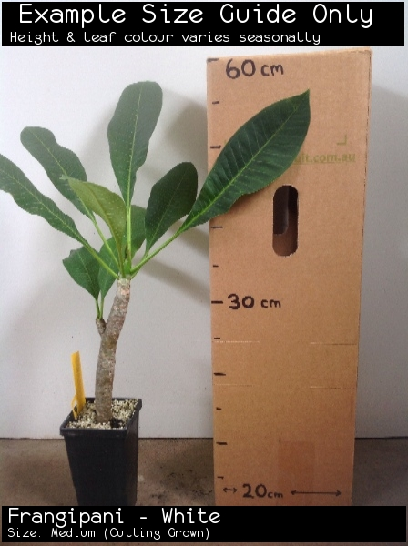 Frangipani - White For Sale (Size: Medium)  (Cutting Grown)