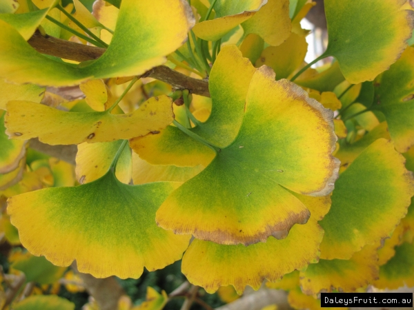 Ginkgo close up