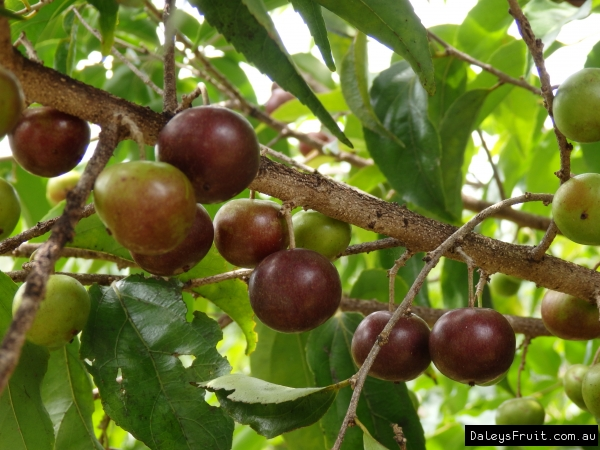 Viewtopic in addition Watch furthermore Short Supply And Price Increases Foreseen For 2014 Ispaghula Crop further Talisia Esculenta also Coloringpages islands. on trinidad and tobago fruits