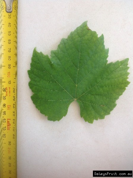 Leaf of the Grape Black Muscat