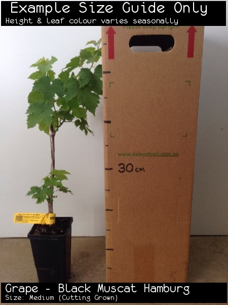 Grape - Black Muscat Hamburg For Sale (Size: Medium)  (Cutting Grown)