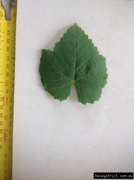 Leaf of the Grape Golden Muscat