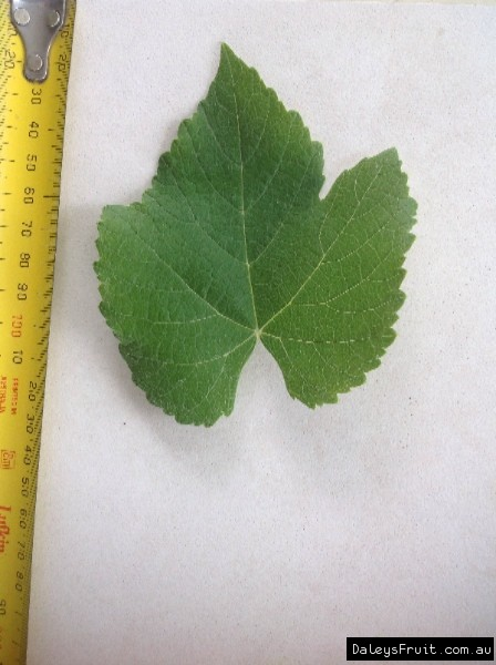 Leaf of the Grape Isabella Black