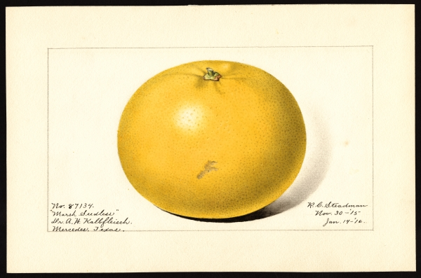 Drawing of Marsh Seedless variety of grapefruits